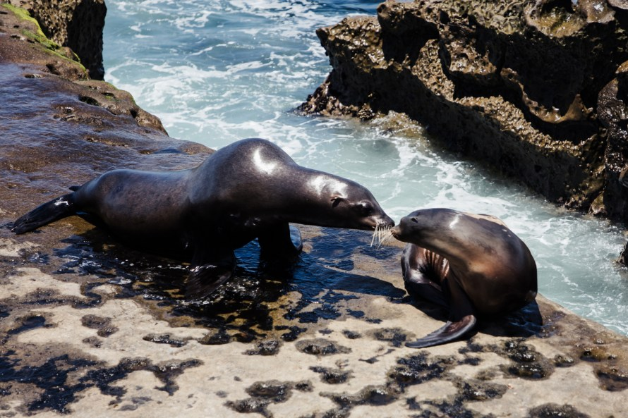Two sea lions putting their noses together