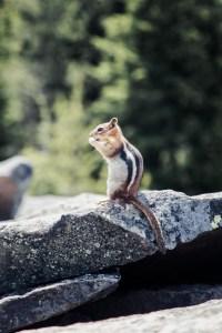 Chipmunk eating nut