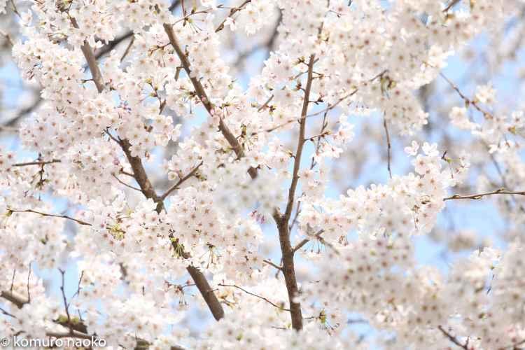 くにたち大学通り桜