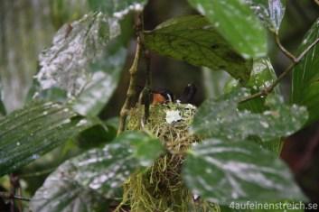 Kolibri im Nest