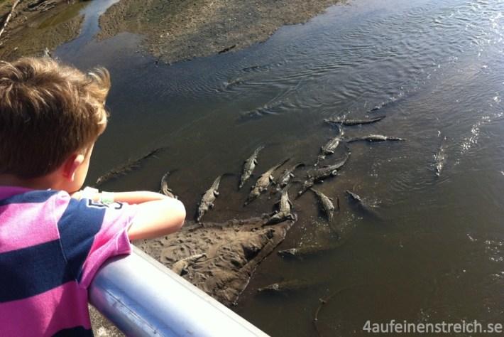 Krokodile von einer Straßenbrücke aus beobachtet.
