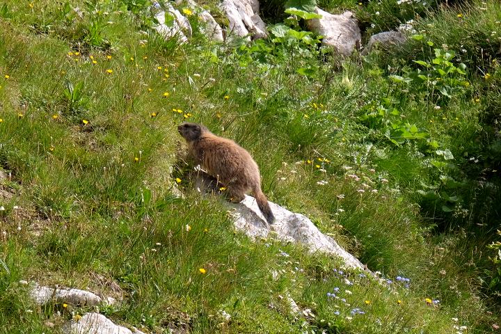 58GradNord - Karnischer Höhenweg - Murmeltiere zum Anfassen