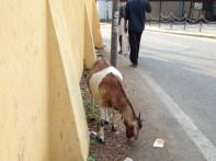Goats in India remind me of home in garmisch.