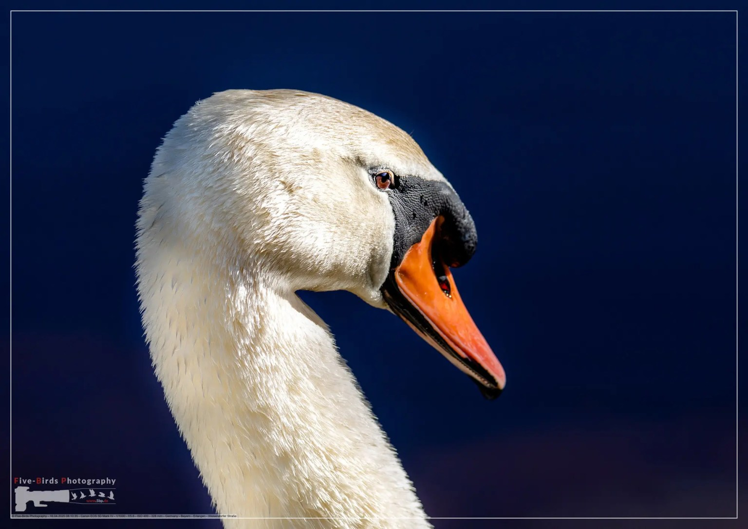 Close-up of a male mute swan in southern Germany