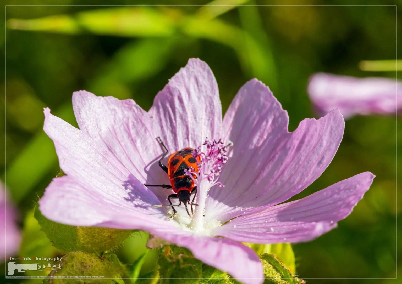 A Pyrrhocoridae sits on a Malva moschata flower