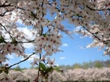Trời xanh mây trắng hoa (suýt) hồng