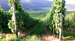 Wein Berg Lese Mosel - 5VIER