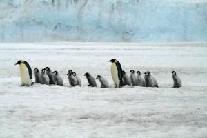 https://pixabay.com/de/kaiserpinguine-antarktis-tierwelt-2821897/