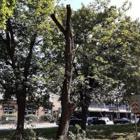 Mitarbeiter von StadtGrün Trier schnitten den Ahorn zurück und stellten hierbei fest, dass eine Fällung leider unvermeidlich ist. Foto: StadtGrün Trier