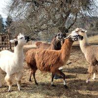 Die Lamas der eifelnomaden können an Online-Meetings teilnehmen. Bildquelle: Ansgar Baum