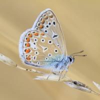 Der Schmetterling Hauhechel Bläuling. Bildquelle: Thomas Kirchen