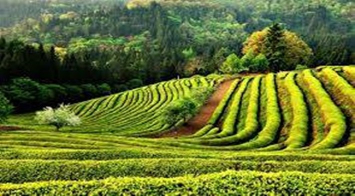 Green Tea Field.jpg