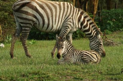 baby-Zebra and Mom
