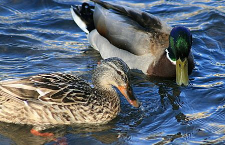 Hundreds of ducks have been found in the Mid-Columbia Basin. (Photo: Oregon Dept. of Fish and Wildlife)