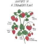 Ash Elizabeth Art Anatomy Of A Strawberry Plant A High Res