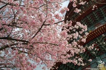 天元宮史上最遲、最少遊客的櫻花季!跟日本櫻花同步盛放,趁大雨前來盡情拍攝