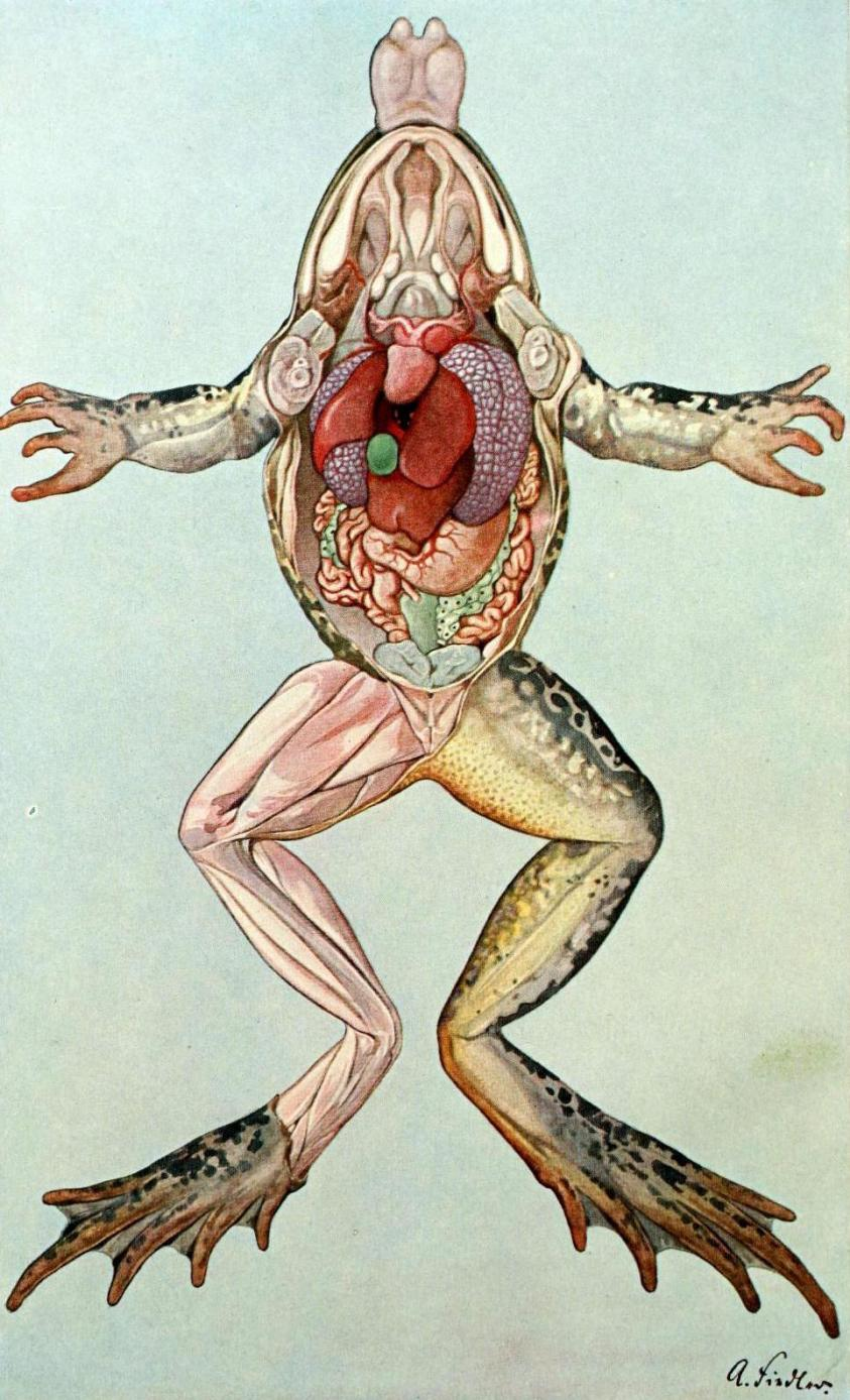 Leopard Frog - Rana spp. - Internal Anatomy The ...