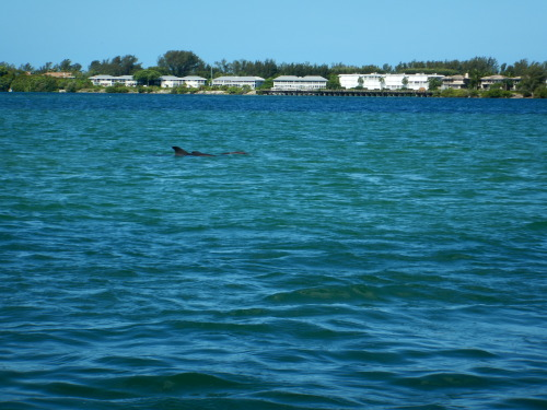 """Another sighting of """"Flip,"""" the first dolphin identified by the Dolphin Discoveries project!"""