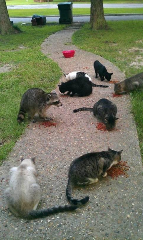 Infiltrado entre gatos