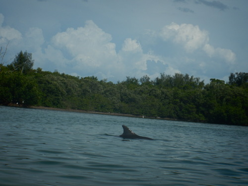 """New Dolphin!New dolphin identified! """"Nami"""" is the most recently identified dolphin, and he/she was first photographed in April swimming alongside Zuri, an extremely rare albino bottlenose dolphin. Nami was again spotted swimming with Zuri during our..."""