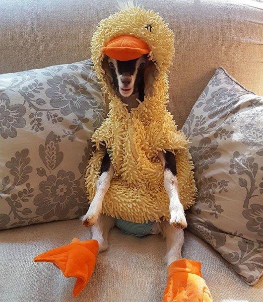 Resultado de imagem para anxiety goat duck costume