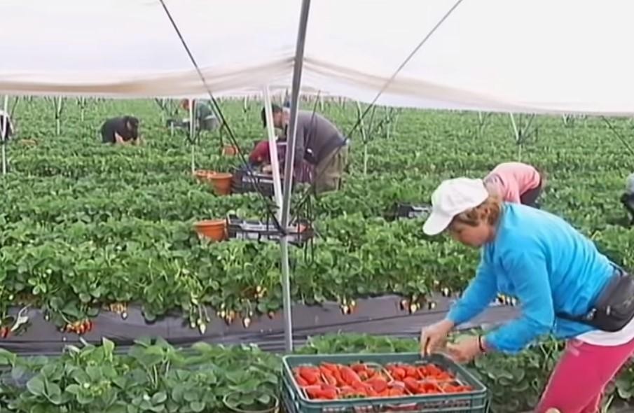 La ONU denuncia que los temporeros de la fresa en Huelva viven «como animales», peor que en «campamentos de refugiados»