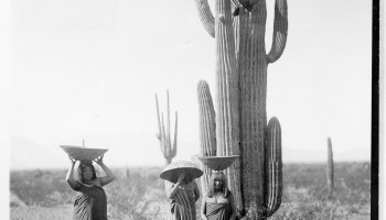 4d884069837 Maricopa women harvesting  ldquo hasen rdq.
