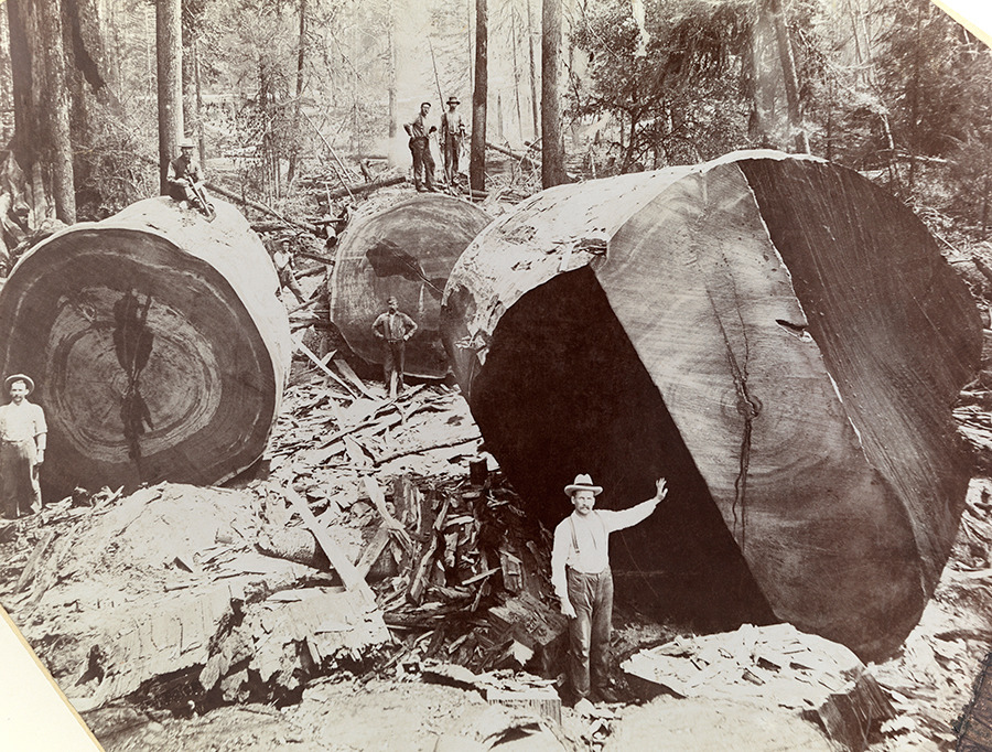 A man stands next to the cross section of a giant redwood tree in California, 1909. Photograph courtesy U.S. Forest Service