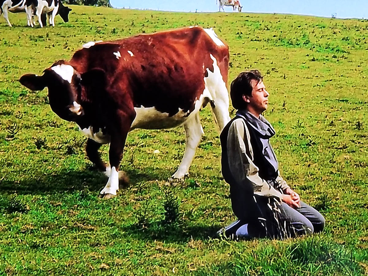 Peter Gabriel and a cow, Bath, 1985, by Peter … – Glamrock