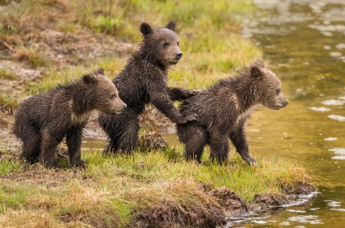 You Go First by Mike Clark These grizzly cubs hesitated a bit before crossing the stream to join mama on the other side. When trying something adventurous, it's best to let your little brother go first.