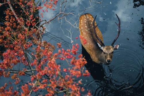 "ponderation: "" Deer In Nara, Japan by PK.DVD Photographer's Instagram """