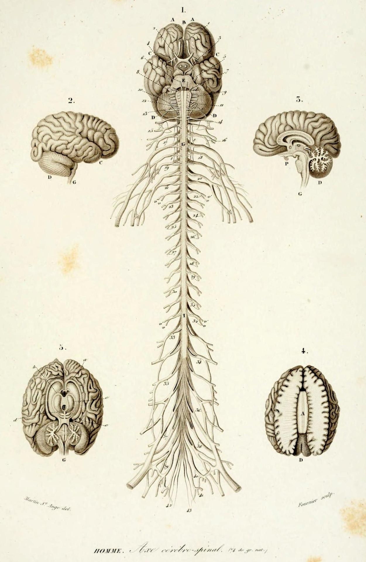 Human Central Nervous System And Peripheral