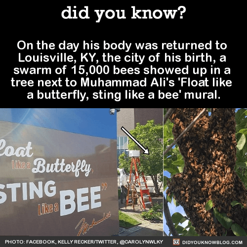 On the day his body was returned to Louisville, KY, the city of his birth, a swarm of 15,000 bees showed up in a tree next to Muhammad Ali's 'Float like a butterfly, sting like a bee' mural. Source Source 2