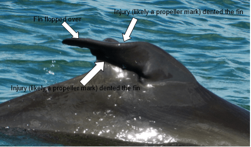 The Mystery of Echo's Fin is Solved!! So, what is up with Echo's fin? Sorry for the false excitement, but Echo does not have two fins. Instead, it appears as though Echo used to have a normal fin, but it was sliced in a collision with a boat. After...