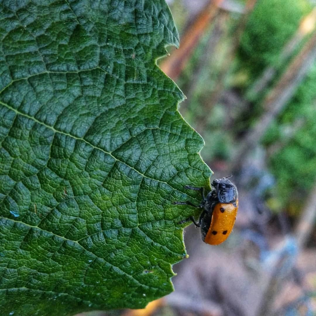 #homesweethome #summertime #insect #leaf #nature #beetle #ladybug #flora #garden #growth #outdoors #summer #closeup #biology...