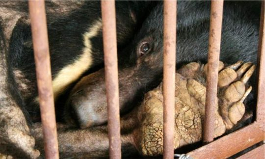 «Granjas de bilis de oso: el horrible maltrato animal de la pseudociencia «