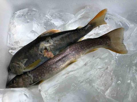 柿其渓谷の魚