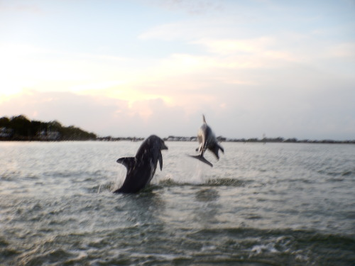 """New dolphin identified in the harbor! """"Warsaw"""" was named after a fish called a Warsaw Grouper. In this photo, Warsaw (left) and Mangrove (right) leap off into the sunset!"""