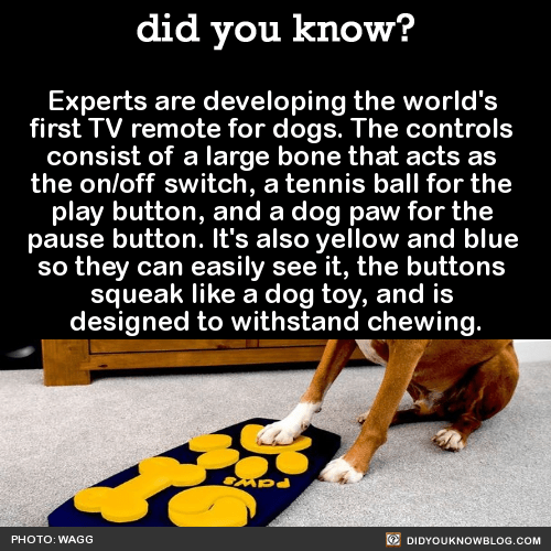 Experts are developing the world's first TV remote for dogs. The controls consist of a large bone that acts as the on/off switch, a tennis ball for the play button, and a dog paw for the pause button. It's also yellow and blue so they can easily see...