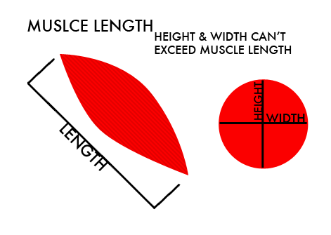 Muscle length