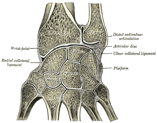 引用元:{Gray's Anatomy plate|Vertical section through the articulations at the wrist, showing the synovial cavities.}}