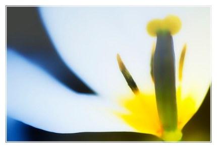 tulipe_0821