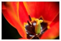tulipe_0888