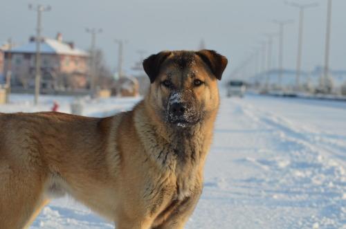 Anatolian Shepherd Tumblr