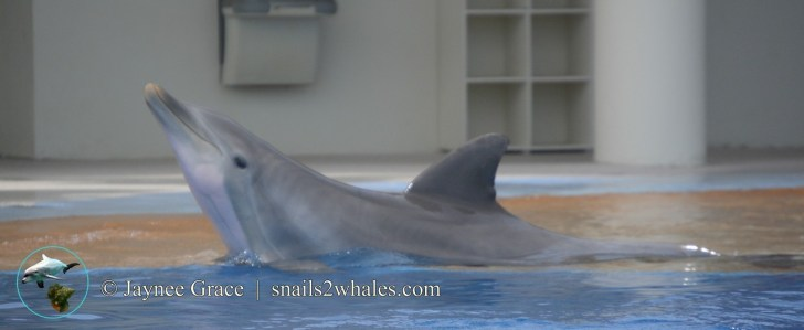 Oftentimes the dolphins at Marineland Dolphin Adventure know when fish are about to come. Here Coquina has swam into shallow water and is probably looking to see if she's going to get any fish this time - or maybe she was doing it simply for fun - it...