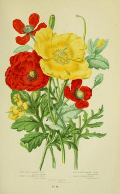 heaveninawildflower:The Poppy Tribe.Illustrations taken from 'The Flowering Plants, Grasses, Sedges and Ferns of Great Britain' by Anne Pratt. Published 1873 by Frederick Warne & Co.King's College London, Foyle Special Collections Library.archive.org