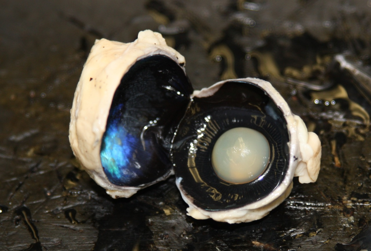 Typothalamustwo The Inside Of A Sheep S Eyeball Looks