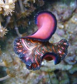 love02bthings:nudibranch | Pseudobiceros bedfordi from North Sulawesi, Indonesia via nudipixel.net ronbeckdesigns