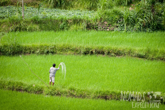 bali indonesia travel adventure culture journey indo pacific explore discover rice fields planting harvest food crop green planting