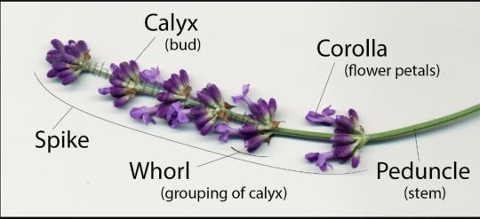 Properties and Medicinal Uses of Lavender